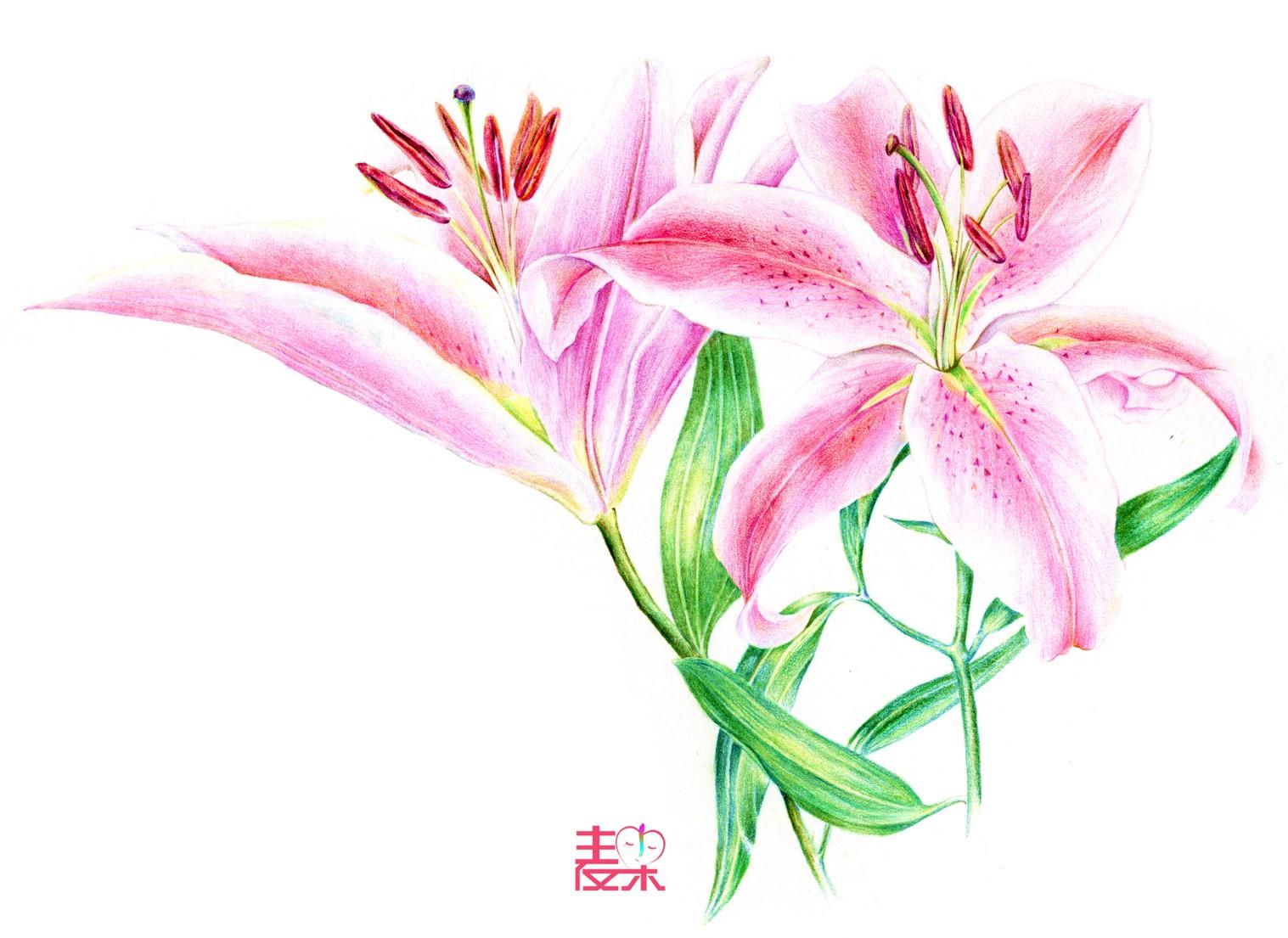 《你也可以画得很美》—花卉 百合花